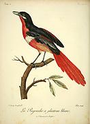 PIE-GRIÈCHE ROUGE A PLASTRON BLANC Red and white shrike from the Book Histoire naturelle des oiseaux d'Afrique [Natural History of birds of Africa] Volume 2, by Le Vaillant, François, 1753-1824; Publish in Paris by Chez J.J. Fuchs, libraire 1799