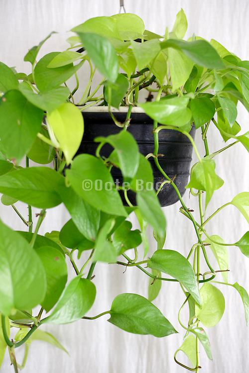 close up of pothos plant indoors