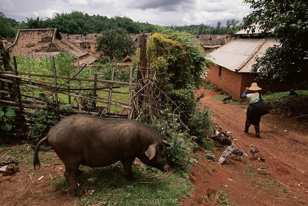 A villager walks past a large hog in a rural village in Xishaungbanna, China.