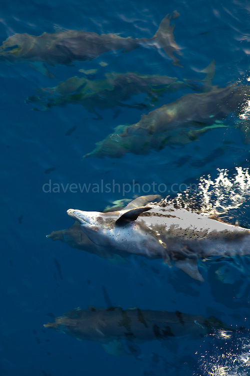 Dolphins riding the bow wave of the Greenpeace Arctic Sunrise Gulf of Mexico Oil Spill Truth tour, August 2010
