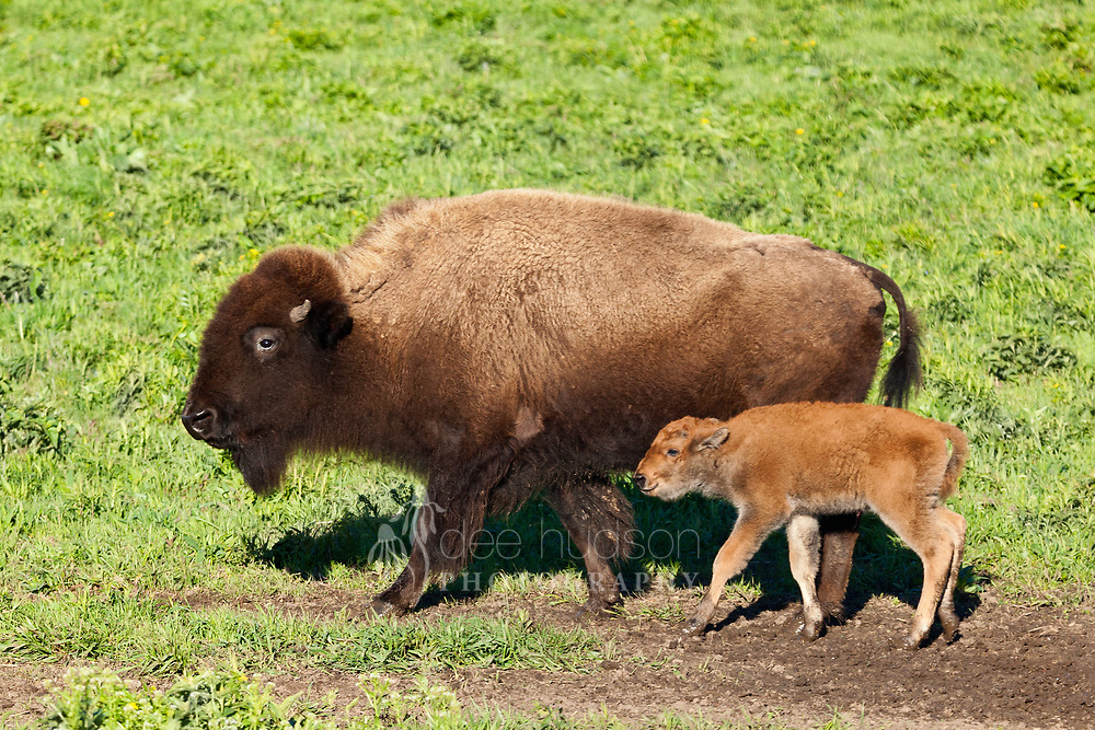 After about 9 1/2 months gestation, the bison calf is born in April and May, weighing between 40 and 60 pounds. The calf is born with orange–red fur, which will change to dark brown in a few months. The mother is very protective of the calf and they stay together for about a year, or until the next calf is born.