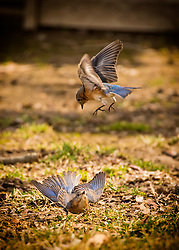 The bluebirds out back are going to town, some sort of mating ritual or something maybe?