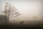 Outstanding in his field…. A pony is silhouetted in early morning fog in a field near Beaufort in County Kerry Ireland.<br /> Picture by Don MacMonagle