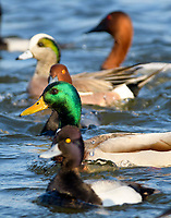 Five speciess of ducks shows diversity in nature.  Pictured from front to back are, scaup, mallard,r edhead, American widgeon, and Canvasback.
