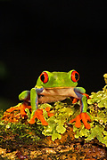 Red Eyed Tree Frog, Agalychris callidryas, Central & South America, green, cute, rainforest, jungle, cold-blooded frogs outdoors tree-frog tree-frogs wild. . Red Eye Treefrog (Agalychnis callidryas). Jack Milchanowski. amphibian. amphibians. animal. anima