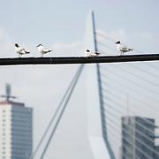 Nederland Rotterdam 9 juli 2010 20100709 Stadsgezicht Kop van Zuid. Op de voorgrond zitten meeuwen op een lijn. Op de achtergrond hoogbouw: Hoogste woontoren van Nederland Montevideo, de Erasmusbrug, en port of rotterdam, gemeentelijk havenbedrijf. , vastgoed, vernieuwing, vernieuwing stedelijk:.stadsvernieuwing, vogel, vogels, vrij, water, wolkenkrabber, wolkenkrabbers, zonnig weer , the sky is the limit, toren, torens, tower, uitbreidingsgebieden, urban landscape, urbanisatie, urbanisering, urbanisme, urbanistisch, urbanistische Foto: David Rozing