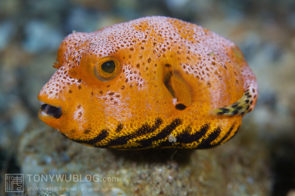 Bright orange juvenile star pufferfish (Arothron stellatus)
