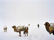 The Khan's herd of Bactrian camels is taken out by his son in law Momo to freely roam out of the Qyzyl Qorum camp during the day.