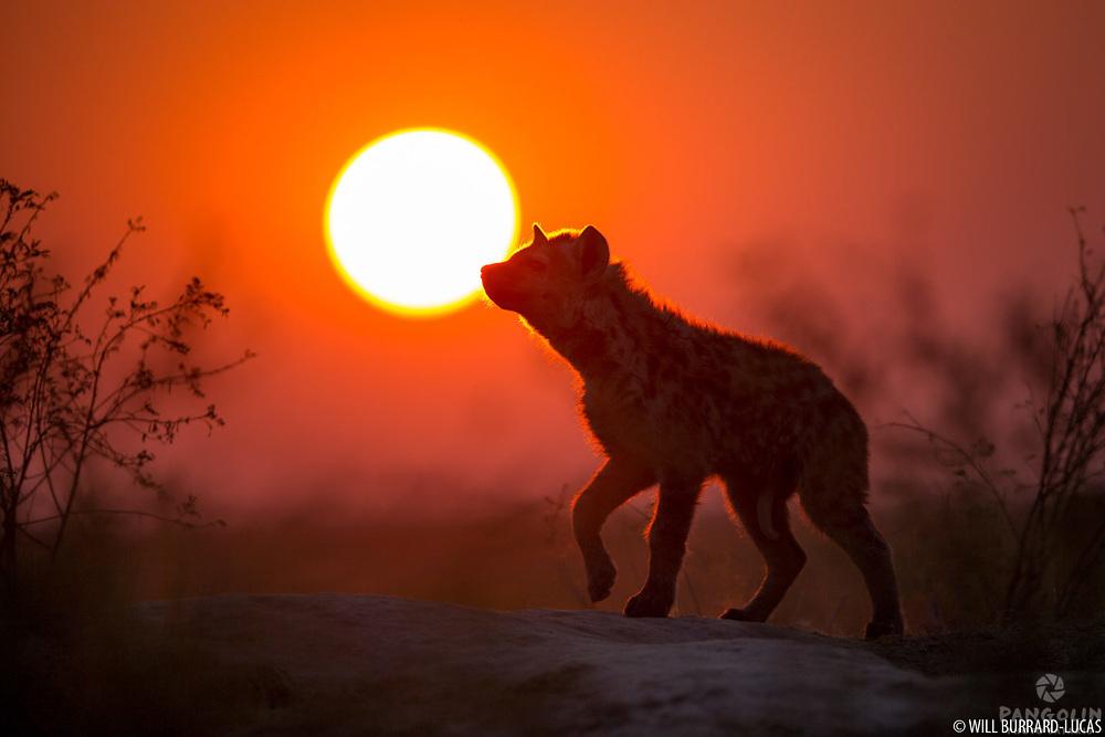 Spotted hyena (Crocuta crocuta), Liuwa Plain National Park, Zambia