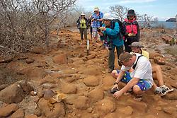 Photographing Galápagos Land Iguana Harvesting Cactus, North Seymour