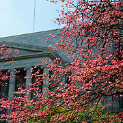 A tree with bright pink blooms  in spring against the Rayburn House Building next to the US Capitol in Washington DC. An American flag flies in the breeze above the building. Vertical image.