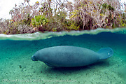 A Florida Manatee, Trichechus manatus, shelters in the clear 72F freshwater of a north Florida spring during wintertime. Despite their appearance, this endangered animal has relatively a small amount of fat and insulation and is very sensitive to cold weather and water, which can be fatal if temperatures remain below 68F for an extended period of time.