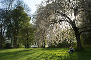 "Girl contemplates under a blossom covered tree. Hampstead Heath (locally known as ""the Heath"") is a large, ancient London park, covering 320 hectares (790 acres). This grassy public space is one of the highest points in London, running from Hampstead to Highgate. The Heath is rambling and hilly, embracing ponds, recent and ancient woodlands."