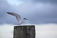 Tern in Bayou Penchant