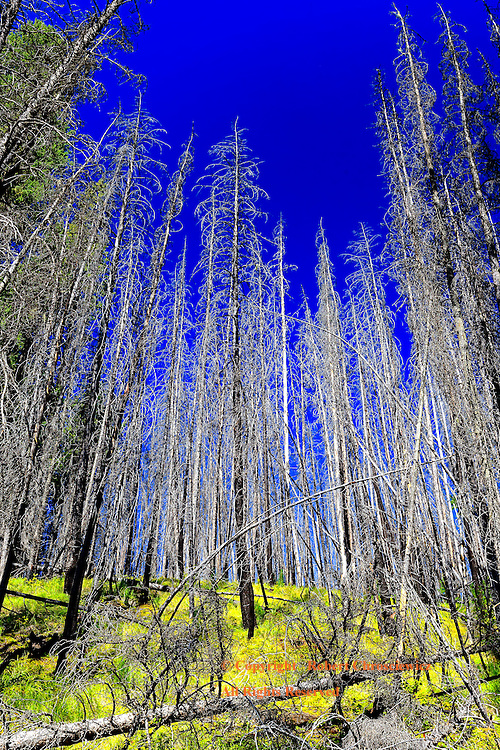 Beauty in Death: The beauty of a forest devastated by the pine beetle infestation stands in stark contrast to the green hillside and the deep blue cloudless sky, on the Hoodoo Creek Trail - Yoho National Park, British Columbia Canada.