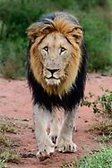 Black-maned lion walking on game trail, Madikwi Game Reserve, South Africa, © David A. Ponton