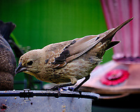 Brown-headed Cowbird. Image taken with a Fuji X-T3 camera and 200 mm f/2 OIS lens with 1.4x teleconverter.