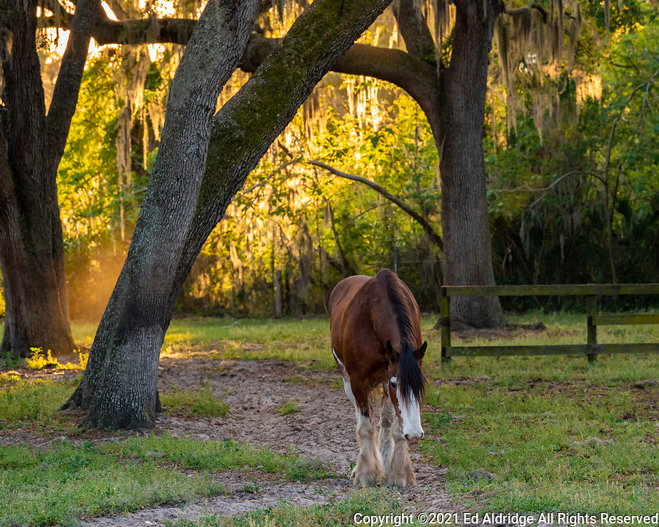 Horse in pasture with live oaks and Spanish moss at sunset in Ocala, Florida. Image taken by Ed Aldridge with a NIKON Z 6_2 and NIKKOR Z 70-200mm f/2.8 VR S at 140mm, ISO 1600, f5.6, 1/500.