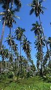 Coconut grove, Sri Lanka