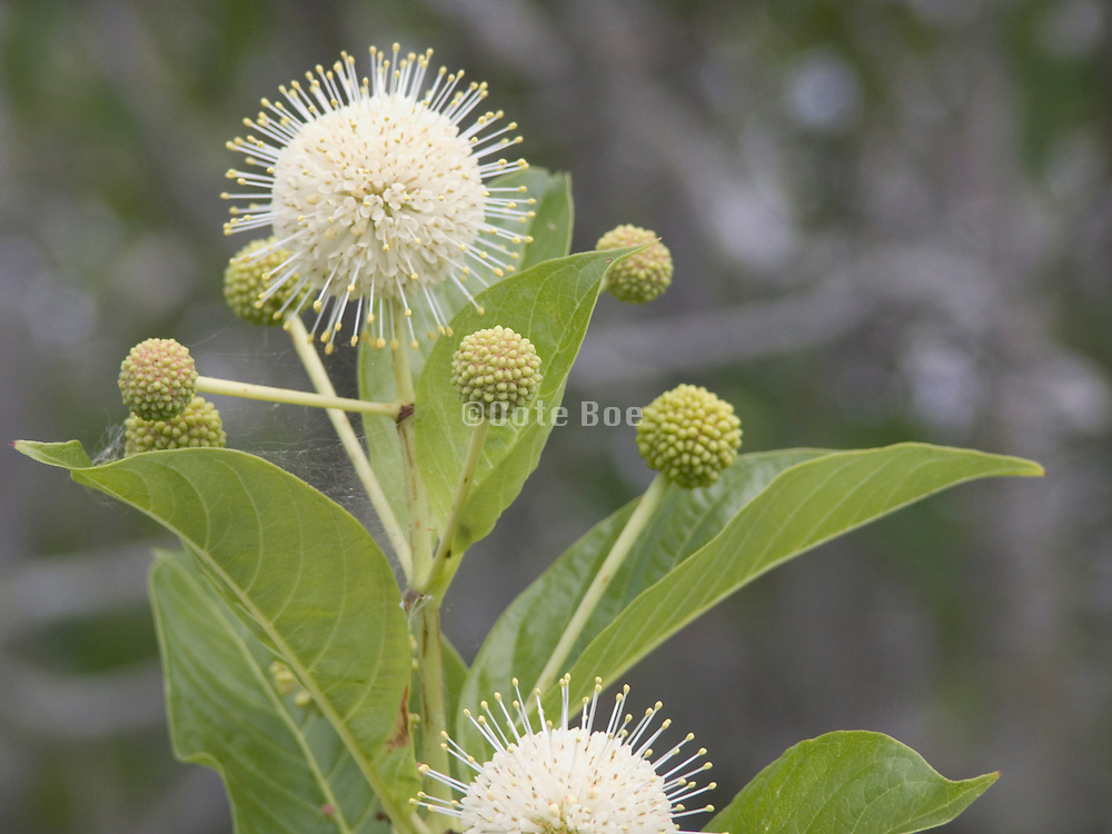 close up of a plant Willow Everglades Florida USA