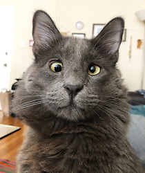 """*VIDEO AVAILABLE: info@cover-images.com*<br /> <br /> A cross-eyed rescue cat is using his unusual looks to raise thousands of dollars for charity. <br /> <br /> Belarus has been blighted with a 'confused' expression thanks to a condition called strabismus. <br /> <br /> He lives in San Francisco with owner Rachel Krall, who adopted him from a shelter after seeing him online. <br /> <br /> He was surrendered to San Francisco Animal Care & Control (SFACC) by his previous family, due to landlord issues <br /> <br /> Rachel explains: """"He is a very active and extremely curious cat.  He loves to play with balls, twist ties, and almost any other small object he can get his paws on.  He seems highly intelligent and doesn't let his wonky eyes slow him down."""" <br /> <br /> """"Dr Travis Strong partnered with us to share more about strabismus, which is the medical term for the eye condition he has. It just means that the muscles that hold his eyes in place may have an abnormal position or may be damaged, causing the gaze to be displaced.  This condition doesn't cause pain and hasn't impacted his day-to-day. <br /> <br /> """"Since his adoption, we have raised and donated $1000's to animal charities to help other animals in need through his online presence.  In 2019, we partnered with Friends of SFACC, Cat Town of Oakland, and Sonoma Community Animal Response Team."""" <br /> <br /> Belarus merchandise:  http://www.belarusthecat.com/merchandise/<br /> <br /> Where: San Francisco, United States<br /> When: 17 Aug 2019<br /> Credit: my_boy_belarus/Cover Images<br /> <br /> **MANDATORY CREDIT: Rachel Krall/Cover Images. Only for use in this story. Editorial Use Only. No stock, books, advertising or merchandising without photographer's permission**"""