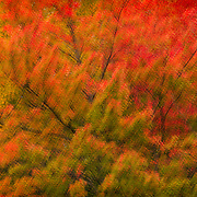 Autumn foliage canopy in brilliant red and orange. Multiple exposure montage with soft glow.