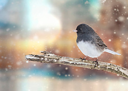 A Dark-Eyed Junco On A Branch In The Midst Of A Gentle Snowstorm