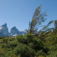 Wind-sculpted beech tree under the Horns of Paine in Torres del Paine National Park, Chile.