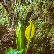 Skunk cabbage is the definitive plant of the damp Southeast Alaskan terrain. It's large leaves and thick stems can be found anywhere where the ground is saturated enough both inside the forest and outside. Apart from its prominent appearance its distinctive musky smell is a prevalent feature in and around the forest. The distinctive odor attracts its pollinators, scavenging flies and beetles. The plant grows from rhizomes that measure 30 cm or longer, and 2.5 to 5 cm in diameter. The leaves are the largest of any native plant in the region, 50–135 cm long and 30–80 cm wide when mature. Its flowers are produced in a spadix contained within a large, bright yellow or yellowish green spathe 30–40 cm tall; it is among the first flowers to appear in spring.While some consider the plant to be a weed, its roots are food for bears, who eat it after hibernating as a laxative or cathartic. The plant was used by indigenous people as medicine for burns and injuries, and for food in times of famine, when almost all parts were eaten.