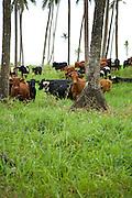 Cattle in Cococnut palms, Taveuni, Fiji