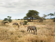 Zebras, along with giraffes are some of the more prized hunting goals for the Hadza. But very rarely do they manage to hunt them - the rest of the time, they get small games like birds, dik-dik etc