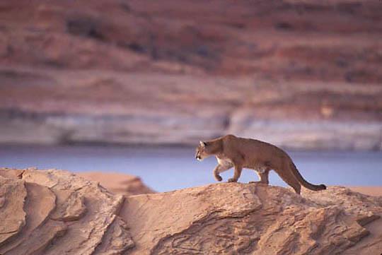Mountain Lion or Cougar, (Felis concolor) Adult near reservoir. Northern Arizona.  Captive Animal.