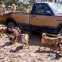 042415       Cable Hoover<br /> <br /> A pack of dogs gathers around a disused pick-up on Claudia Sanders property in Candy Kitchen Friday.