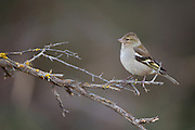 Female common chaffinch (Fringilla coelebs) perched on a branch. Chaffinches are partial migratory birds that eat mainly seeds. They are found in gardens and woodlands all over Europe. Photographed in Israel in February