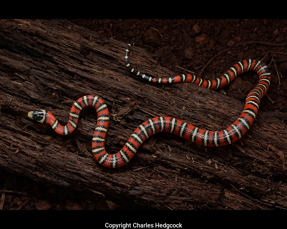Knobloch's Mountain Kingsnake, Lampropeltis knoblochi, photographed during the Madrean Discovery Expedition (MDE) to Mesa Tres Rios, Sonora, Mexico