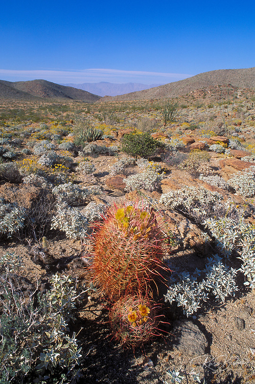 Barrel Cactus in bloom on Yaqui Pass, Anza-Borrego Desert State Park, California