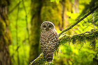 The barred owl is expanding its range across North America, which is bad news for the closely-related and endangered spotted owl who is in direct competition for habitat and resources. This large, mature individual watched me intently before silently taking flight and melting back into the darkening forest, about 40 miles southeast of Seattle.