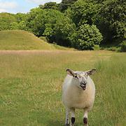 Lone Grazing Sheep - Avebury, UK