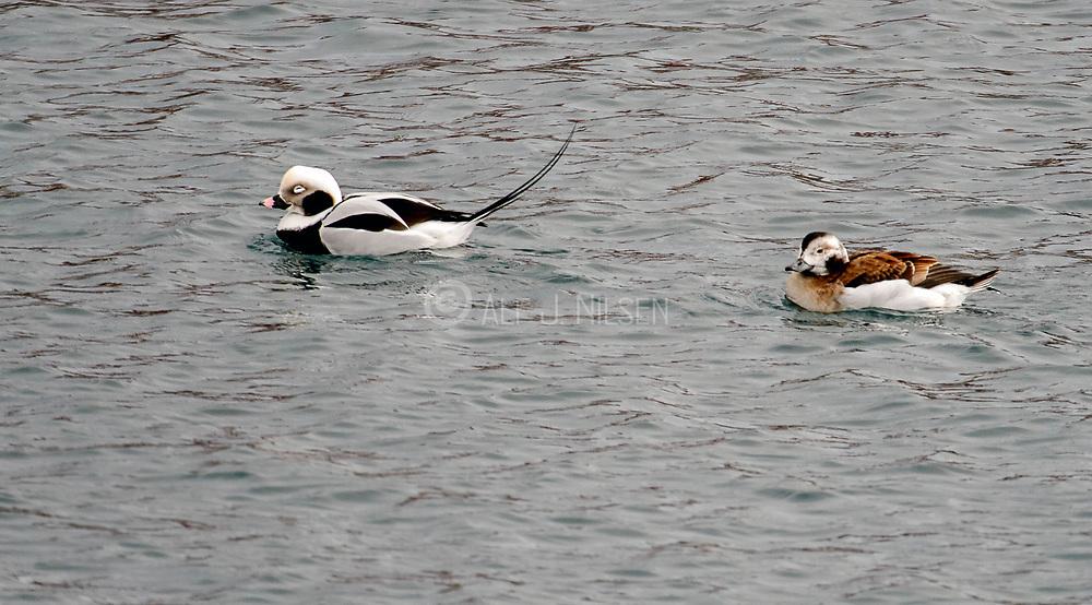 Pair of long-taild duck (Clangula hyemalis) from Vardø harbour, Finnmark, Norway.