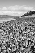 Black and White Photograph of Shoreline Mollusks, Tierra Del Fuego, Argentina (2008)