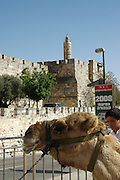 camel waiting for tourists to ride it outside the walls of the old city of Jerusalem, Israel
