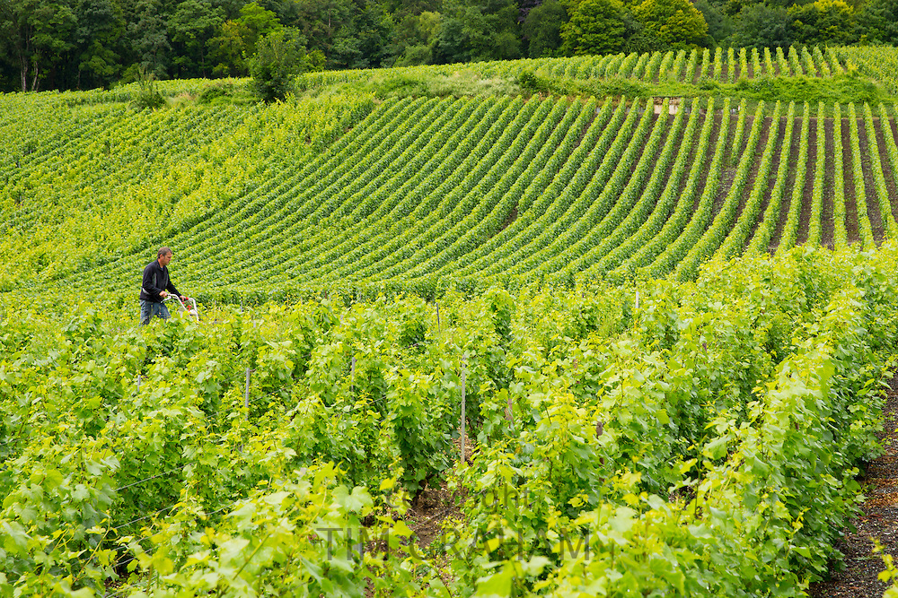 Worker using rotivator to remove weeds among Chardonnay grapevines at vineyard in Avize in the Champagne-Ardenne region of France