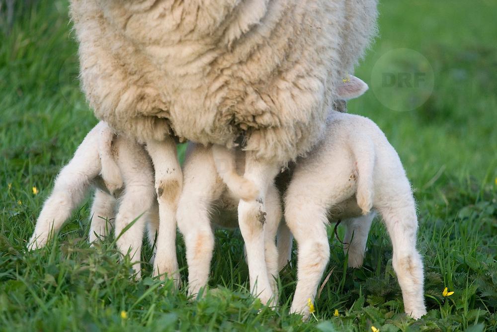 Nederland Barendrecht 5 april 2009 20090405 Foto: David Rozing ..3 jonge lammetjes drinken bij moeder schaap .in de wei, lente, lenteweer.Little lambs drinking feeing in field in springtime..Foto: David Rozing