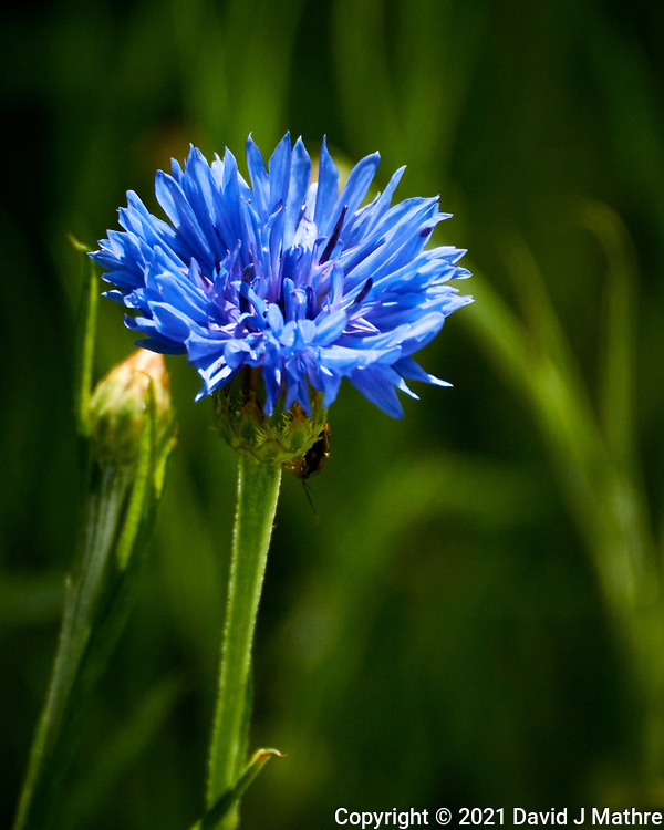 Bachelor Button (Cornflower). Image taken with a Nikon 1 V3 camera and 70-300 mm VR lens.