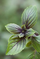 Basil 'African Blue' - Ocimum basilicum 'African Blue'