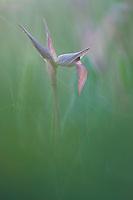 Apulia; Gargano National Park; Gargano Peninsula; Italy; Serapias lingua; Tongue Orchid