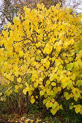 Morus nigra in autumn colour. Mulberry tree