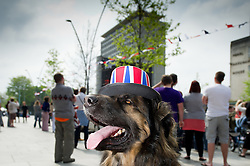 Plymouth, UK  29/04/2011. The Royal Wedding of HRH Prince William to Kate Middleton. A dog gets into the wedding spirit wearing a Union Jack hat in Plymouth. Photo credit should read London News Pictures.
