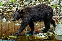 Black bears, Fortress of the Bear (bear sanctuary), Sitka, Alaska USA.