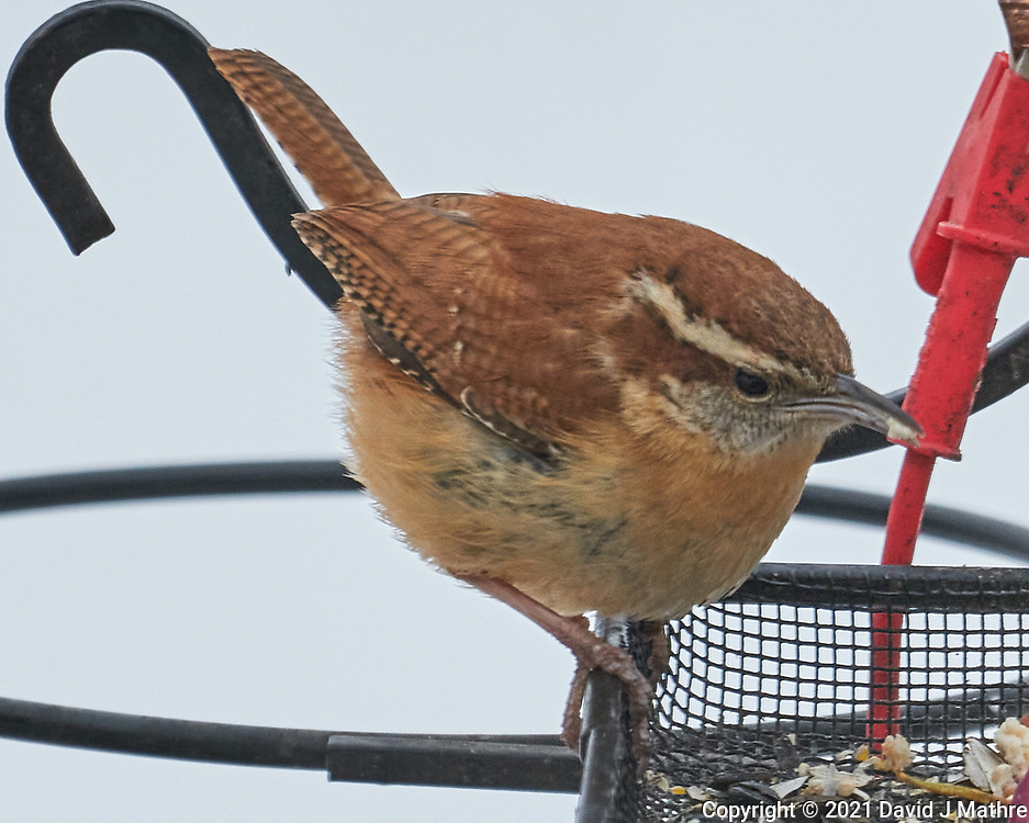 Carolina Wren (Thryothorus ludovicianus). Image taken with a Leica SL2 camera and Sigma 100-400 mm lens.